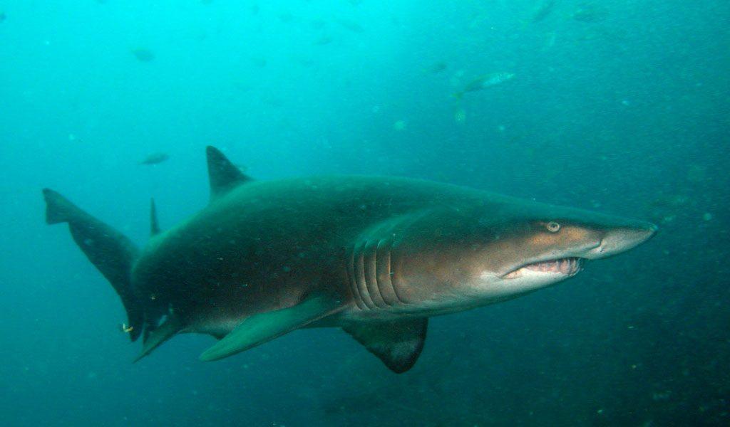 Nurse Shark - Facts, Information & Habitat