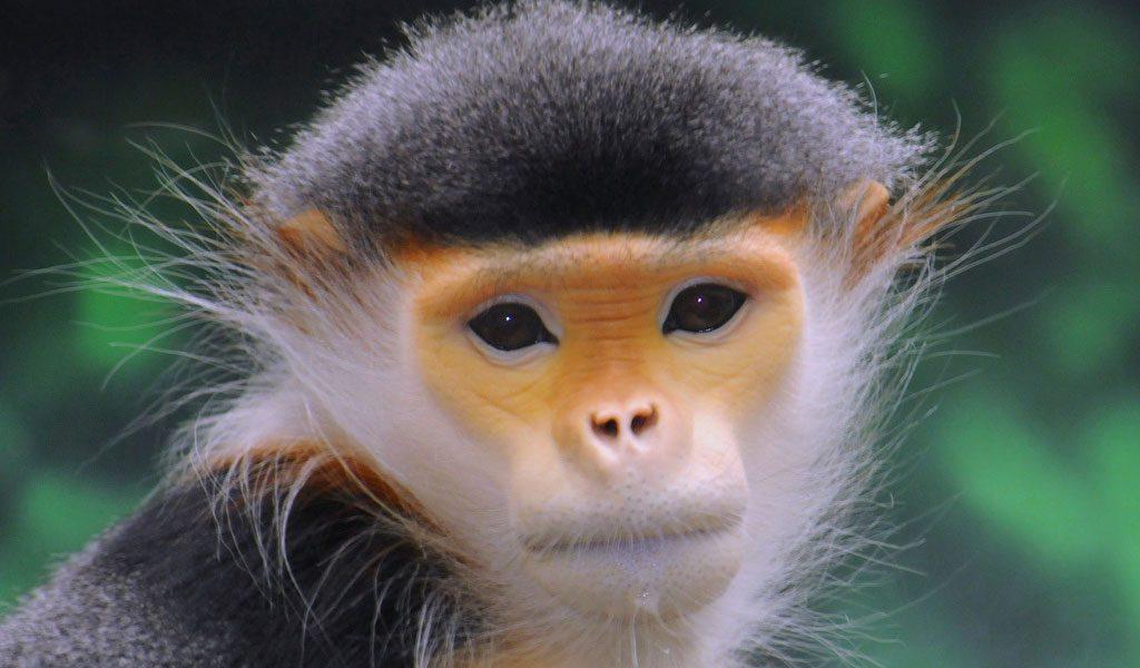 old-world-monkey