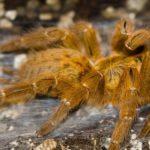 old-world-tarantula