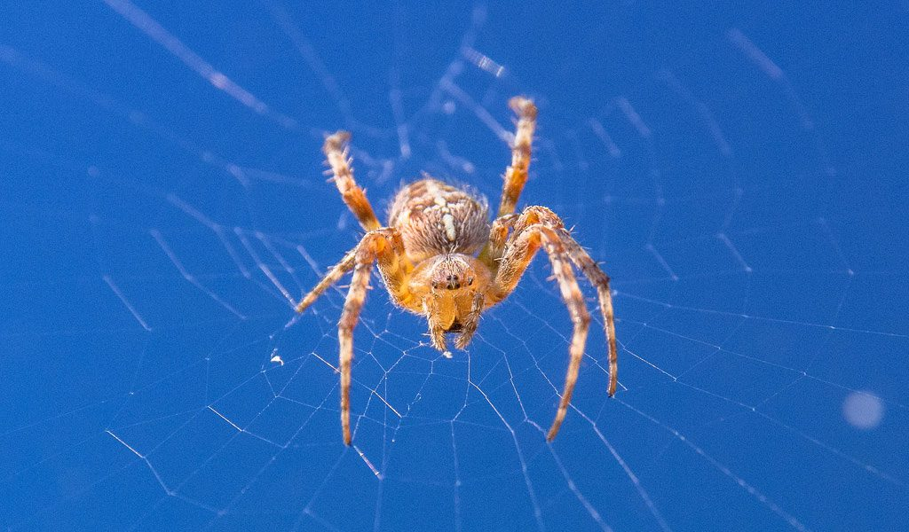 Orb Weaver Spiders Facts Pictures Habitat Information
