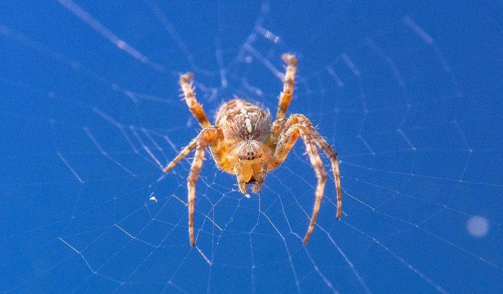 orb weaver spiders facts pictures habitat information - Common Garden Spider