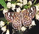 Palmer's Metalmark Butterfly