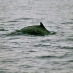 pantropical-spotted-dolphin