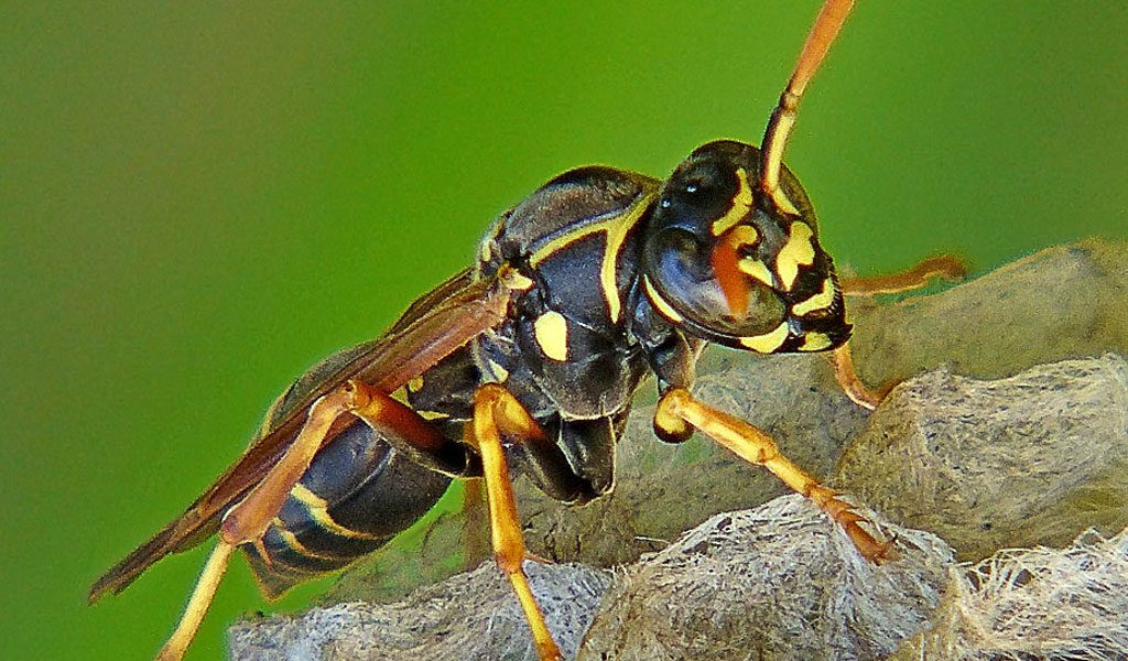 Paper Wasp - Facts, Life Cycle & Habitat Information