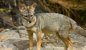 peruvian-fox