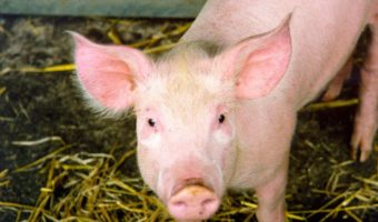 Pigs - Facts, Information & Farm Pictures