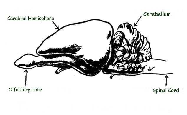 Rabbit Brain Anatomy - Dissecting A Rabbits Brain