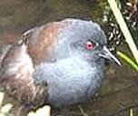 Galapagos Rail Bird