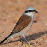 red-backed-shrike