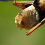 red-bat