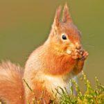 red-british-squirrel