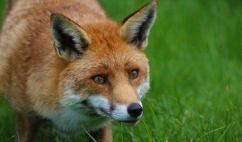 Red Fox - Facts, Diet & Habitat Information