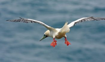 red-gooted-booby