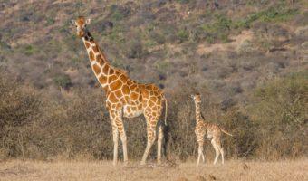 reticulated-giraffe