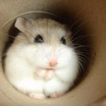 roborovski-hamster