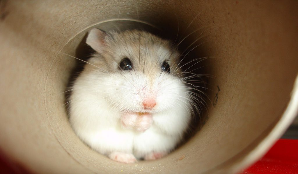 Roborovskis Hamster - Facts, Information & Pictures