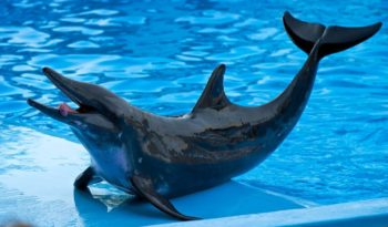 Pantropical Dolphin Facts Information Amp Pictures