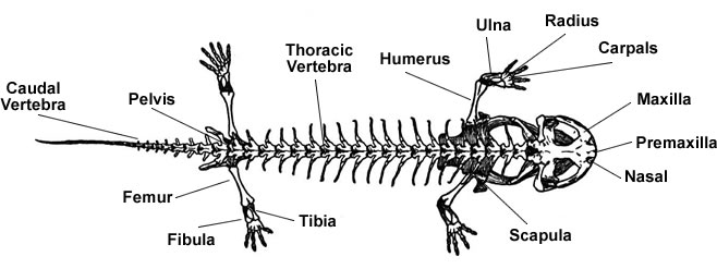 salamander skeletal anatomy