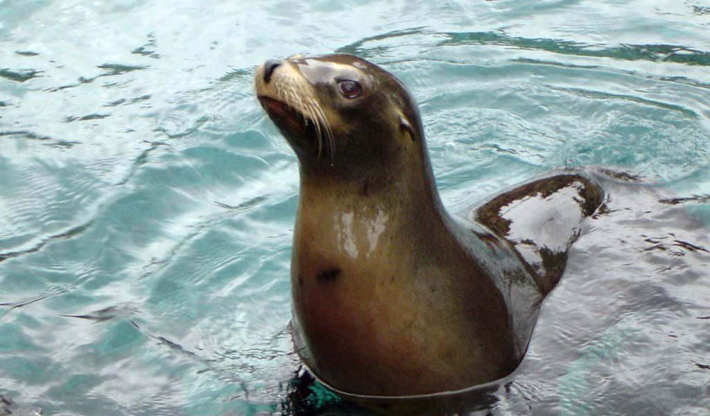 Sea Lion - Facts, Diet & Habitat Information
