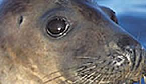 Seals eye