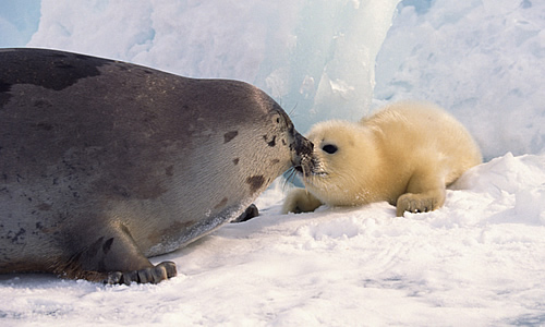 Harp Seal and pup
