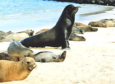 A Sea Lion bull and his harem