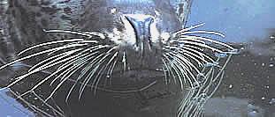 Vibrissae (whiskers)