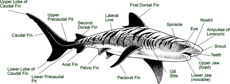 Shark muscle anatomy