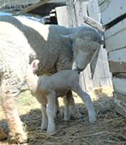 Ewe feeding lamb