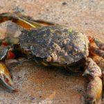 shore-crab