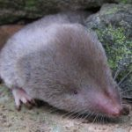 short-tailed-shrew