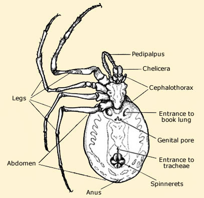 Anatomy of spiders