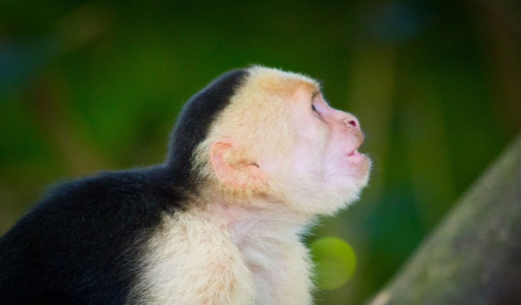 Spider Monkey - Facts, Diet & Habitat Information