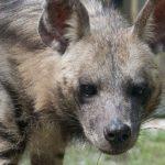 striped-hyena