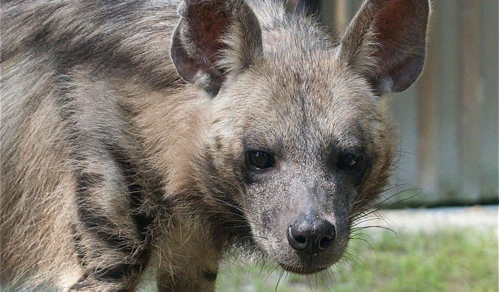 Striped Hyena - Facts, Diet & Habitat Information