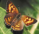Tailed Copper Butterfly