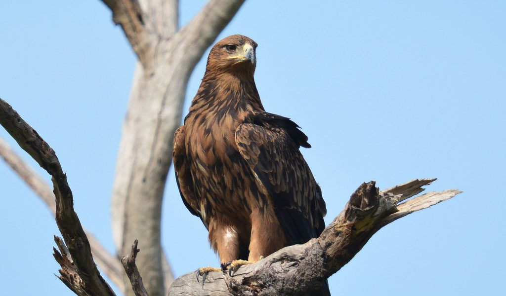 Tawny Eagle - Facts, Diet & Habitat Information