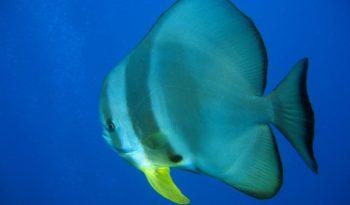 teira-batfish