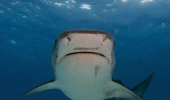 Tiger Shark Facts Diet Habitat Information