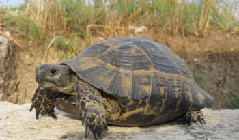African Spurred Tortoise - Facts,Information & Pictures
