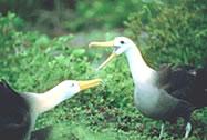 Waved Albatross mating ritural