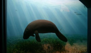 west-indian-manatee