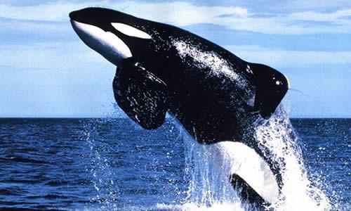 Orca Whale/Killer Whale