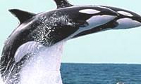 Whale Head Lunge