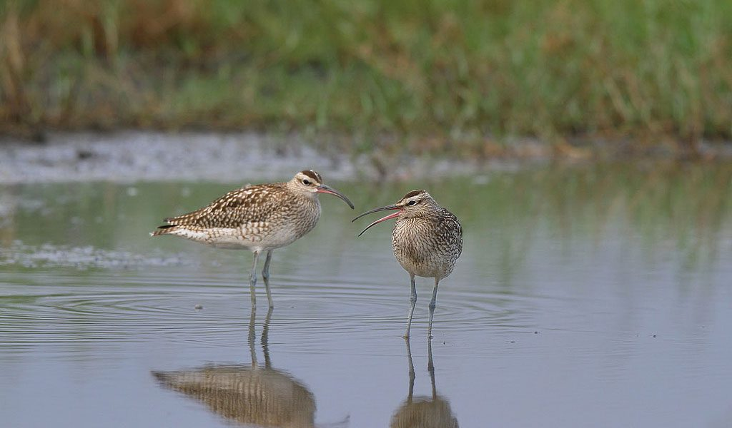 whimbrel-bird
