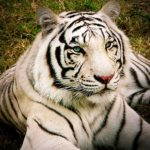 white-bengal-tiger