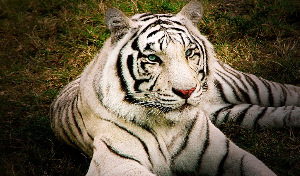 White Bengal Tigers - Key Facts, Information & Pictures
