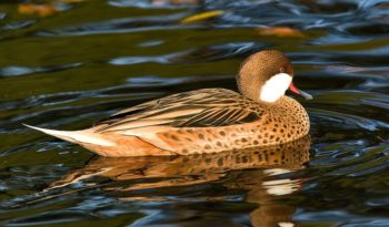 white-cheeked-pintail-duck