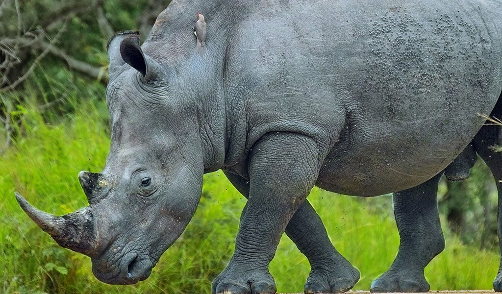 javan rhino facts range habitat diet population pictures - 1024×600