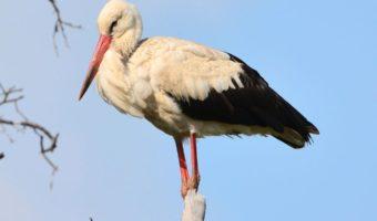 White Stork Birds - Facts, Diet & Habitat Information